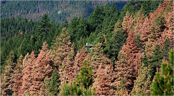 Beetle kill trees